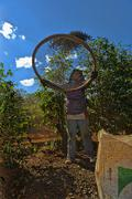 Migrant worker sifting coffee beans and chaff in rows between mundo novo trees Stock Photos