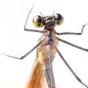 Hyönteinen damselfly sudenkorento eristetty valkoinen Kuvituskuvat