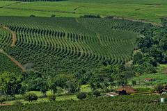 Coffee trees in rows on plantation at 1100 meters above sea level Stock Photos