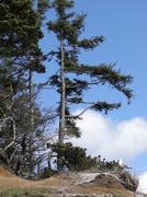 isolated conifers on windy coast - stock photo