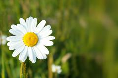 white marguerite flowers - stock photo