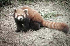 wild animal lesser panda bear - stock photo