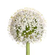 flower head of an onion (allium cepa) on white - stock photo