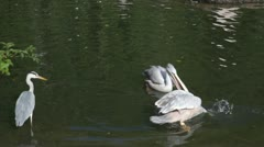 Pelicans float and fish Stock Footage
