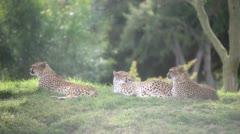 Cheetahs Stock Footage