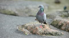 One Legged Pigeon Stock Footage