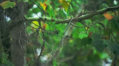 Chirping Bird - stock footage