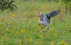 Greylag goose posing like a pegasus Stock Photos
