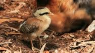 Wild Hen Nests Stock Footage