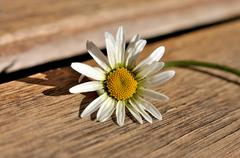 Marguerite - stock photo