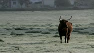 Stock Video Footage of cows in field (4)