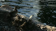 Ducklings Huddle - stock footage
