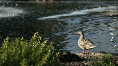 Duck Pond Stock Footage
