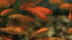 School of Goldfish Stock Footage