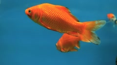 Goldfish in tank Stock Footage