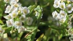 Mantis in Flowers Stock Footage