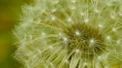 Close-up of dandelion white head Stock Footage