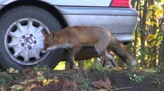animal fox in park near car - stock footage