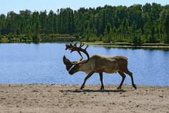 Woodland caribou - stock photo