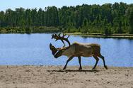 Stock Photo of Woodland caribou
