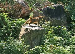 Lynx stretching on a rock Stock Photos