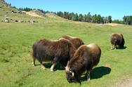 Stock Photo of Musk oxen (ovibos moschatus)