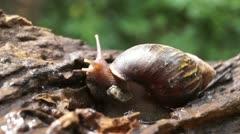 Algae eating black japanese trapdoor pond snails bayuko Stock Footage
