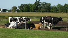 Cows in Field Stock Footage