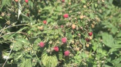 Picking Crowberries Stock Footage