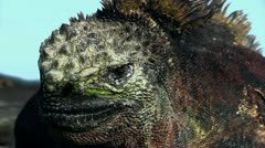 Red Marine Iguana - relaxing on a lava rock - stock footage