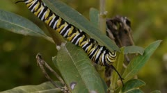 Monarch Caterpillar Eating Milk Weed Plant Stock Footage