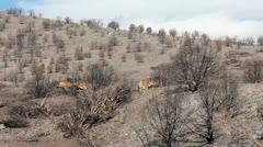 Bulldozer dragging chain remove cedar trees burn Stock Footage