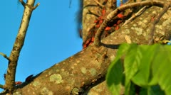 red boxelder bugs scurry along tree limb - stock footage