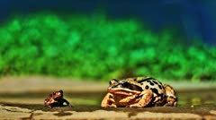Two toads Stock Footage