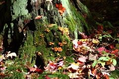 Mushrooms on old tree.JPG Stock Photos