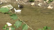 Stock Video Footage of Ducks oa a Mountain River, Natural Environment