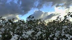 Snowy Cotton Field Stock Footage