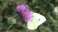Stock Video Footage of Butterfly on Flower, Butterfly on a Thistle
