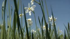 Camomiles Stock Footage