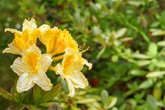 yellow azalea rhododendron flowers full bloom in spring garden - stock photo
