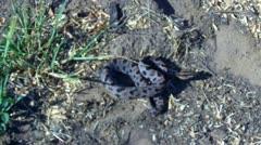 Oklahoma Pigmy Rattler Rattlesnake - stock footage