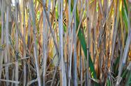 Stock Photo of bamboo grass