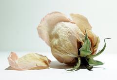 wilted rosebud - stock photo