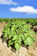 close up of beautiful young potato plant - stock photo