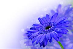 Close up abstract of  purple daisy gerbera flowers Stock Photos