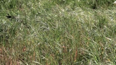 Wild grass Stock Footage