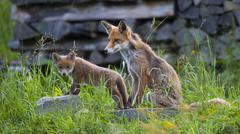 Mother redfox with cub Stock Photos