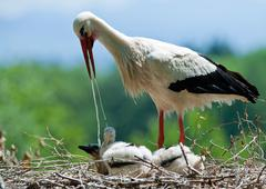 Stork mother is feeding her kids Stock Photos
