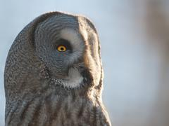 Greag Grey Owl - stock photo