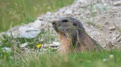 Marmot looking - stock photo
